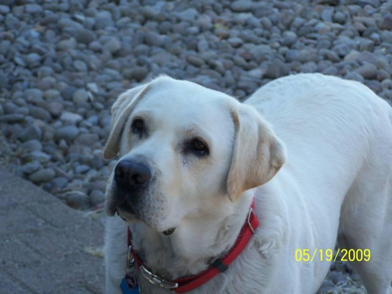 ENGLISH LABRADOR RETRIEVERS akc labradors puppies for sale breeder
